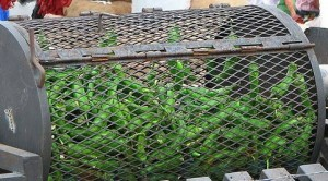 Roasting Hatch green chile