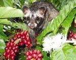 "Paradoxurus hermaphroditus, who gave us ""Civet Coffee"""