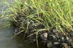 Zebra Mussels, an invasive species of mollusc