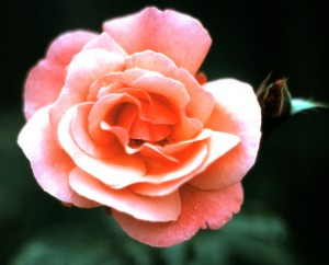 Rose (Photo by Sue Jimenez)