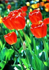 Tulips (Photo by Sue Jimenez)