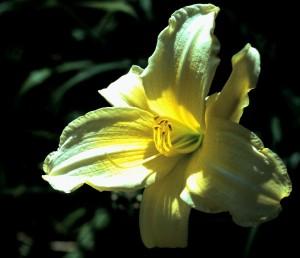 Day Lily (Photo by Sue Jimenez)