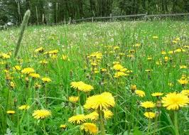 """Torpid Liver""? Graze on some dandelions! (Photo Credit:  www.pesticide.org)"