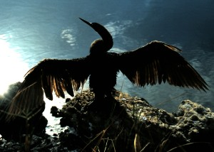 Anhinga - Ding Darling National Wildlife Preserve, Sanibel Island 1996 (Photo by Sue Jimenez)