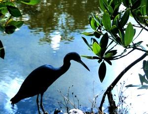 Blue Heron, Ding Darling National Wildlife Preserve, Sanibel Island, 1996 (Photo by Sue Jimenez)