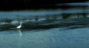 Snowy Egret, Ding Darling National Wildlife Preserve, Sanibel Island, 1996 (Photo by Sue Jimenez)