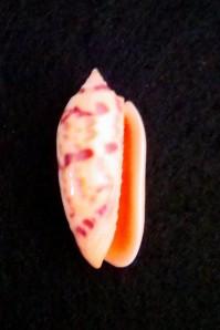Lettered Olive Shell, 1996