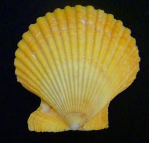 Lemon Pecton Shell, 1996 (Photo by Sue Jimenez)