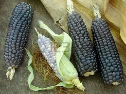 Blue corn (Photo Credit:  www.123rf.com)