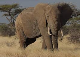 1 African Elephant = 8,900 pounds OR 4,528 cookbooks )(Photo Credit:  www.hdnewwallpapers.com)