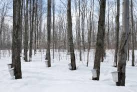 Maple trees, tapped in late winter/early spring, for sap (Photo Credit:  www.123rf.com)