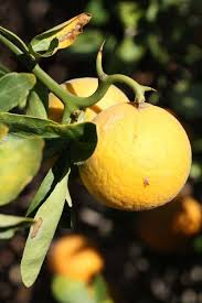 Fruit of the Flying Dragon Trifoliate Orange (Photo Credit: itp.lucidcentral.org)