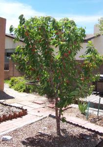 The dwarf cherry tree, which really came through for us!