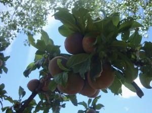 Santa Rosa Plums were also abundant