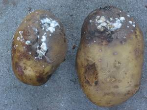 The 1840 potato blight destroyed crops and many people perished (Photo Credit:  allkindsofhistory. wordpress.com)