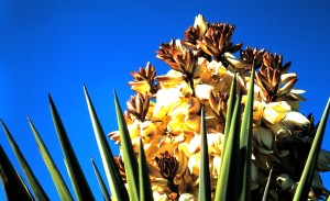 Yucca is the State Flower of New Mexico (Photo by Sue Jimenez)