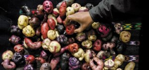 Just some of the incredible varieties and colours of potatoes (Photo Credit:  www.smithsonianmag.com)