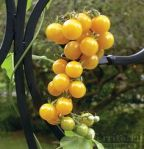 White Currant Tomato (Photo Credit: www.pinterest.com)