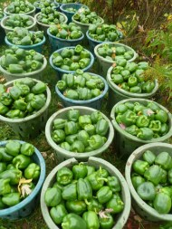 16,550 recipes for bell peppers! (Photo Credit: www.hamiiltonfruittreeproject.blogspot.com)