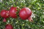 """""""Russian Pomegranate"""""""