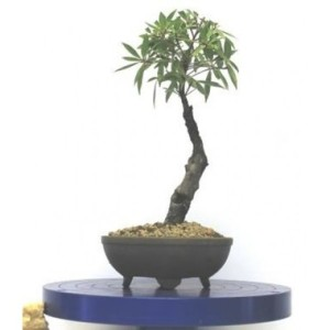 """Ficus Nerifolia Bonsai Tree 5729"" (Photo Credit: www.miamitropicalbonsai.com)"